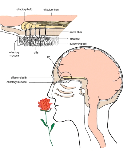 how aromatherapy works  essential oils  olfactory nerves Olfactory Cortex Olfactory Cortex